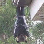 【画像】世界一大きいコウモリが想像以上にでかいwwwww